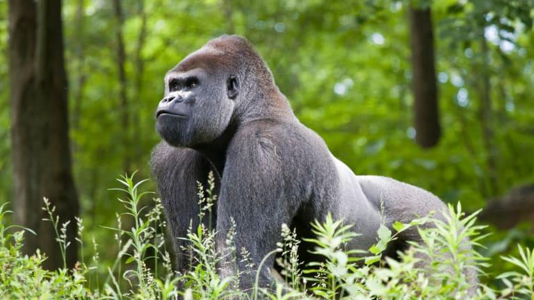 The Gorilla Collective Announces Virtual EDM Festival in Memory of Slain Gorilla, Rafiki