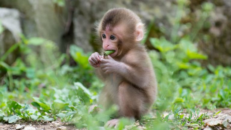 Scientists Created a Device That Allows Monkeys to Play Sounds and Beats—Including Electronic Music