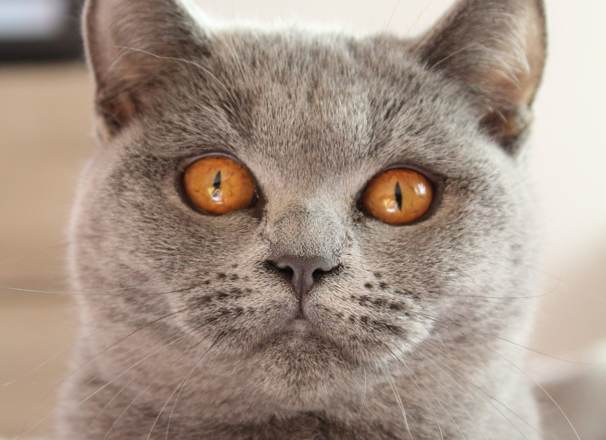 staring cat with yellow eyes
