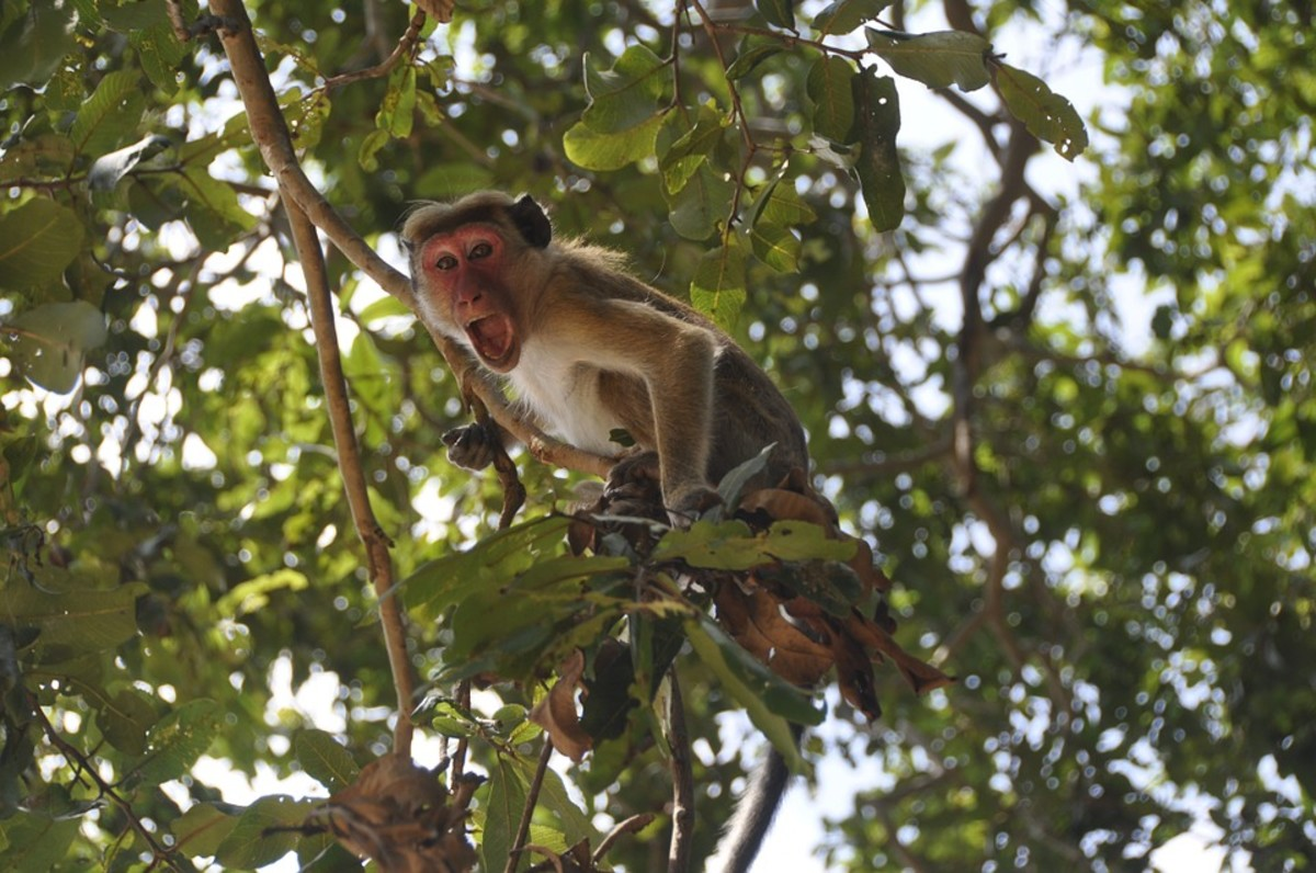 yelling monkey